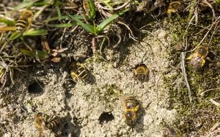 Земляные пчелы и избавление от них