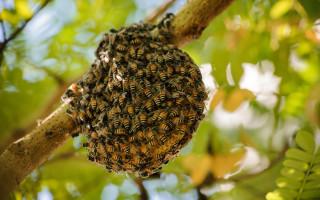 Особенности диких пчел и их отличия от домашних особей