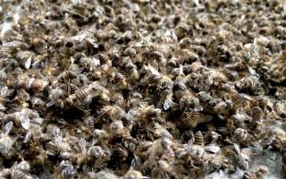 Как правильно хранить и принимать пчелиный подмор
