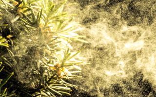 Сосновая пыльца и её полезные свойства