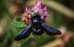 Пчела-плотник: как ее узнать и стоит ли ее бояться