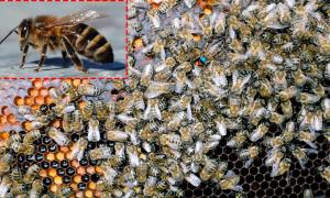 Кавказские пчелы: преимущества и недостатки породы