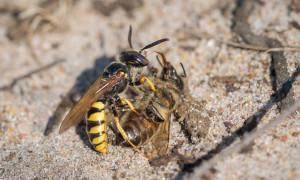 Пчелиный волк – враг медоносных пчел