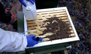 Лечение и обработка пчел чистотелом