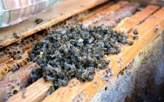 Полезные свойства и вред пчелиного подмора и особенности применения