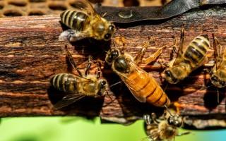 Внешний вид и отличительные особенности матки пчел