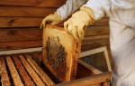 Сколько может быть пчел в одной семье и улье