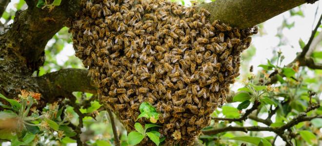 Причины роения пчел, препараты и методы его предупреждения