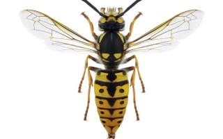 Строение осы и её особенности