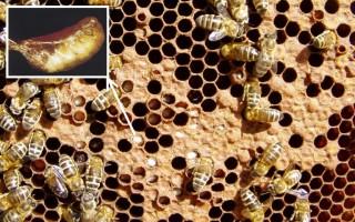 Диагностика и лечение мешотчатого расплода пчел