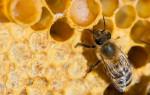 Трутневый расплод пчел