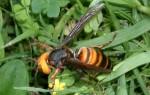 Летающая угрозы: насколько опасна африканизированная пчела?