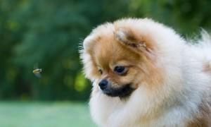 Что делать если собаку укусила пчела в лапу, морду, губу, уши