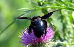 Фиолетовый и черный шмель плотник