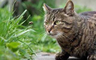 Что делать если кота укусила пчела или оса