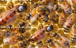 Основные характеристики и возможности украинской степной породы пчел