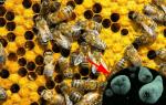 Амебиаз пчел