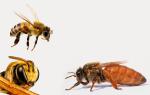 Медоносная пчела — виды и особенности ухода