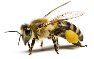 Строение пчелы и её характеристика