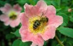 Преимущества и недостатки среднерусской пчелы