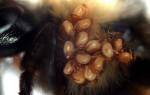 Диагностика и лечение браулеза пчел