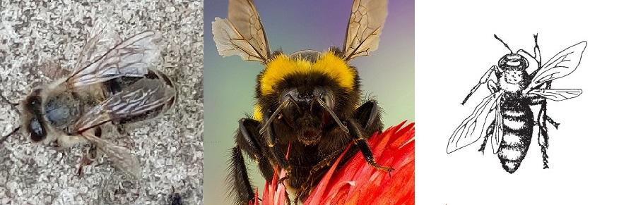 раскрылица пчел