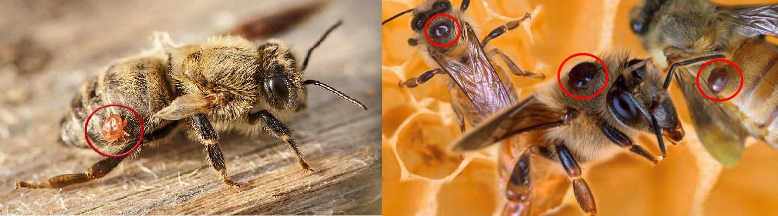 клещ варроа на пчеле