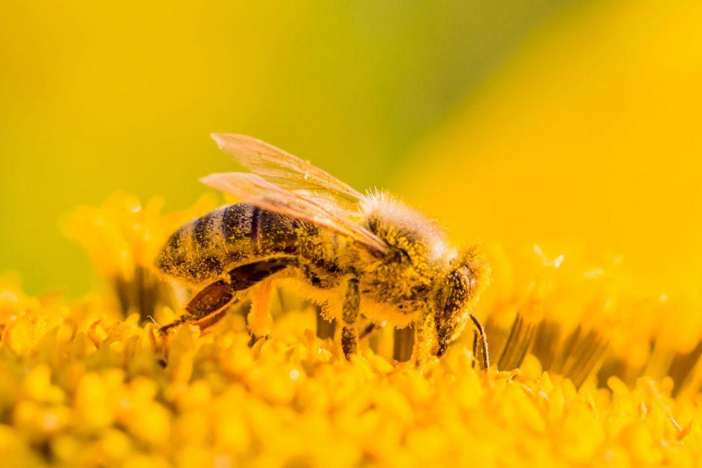 добыча пыльцы