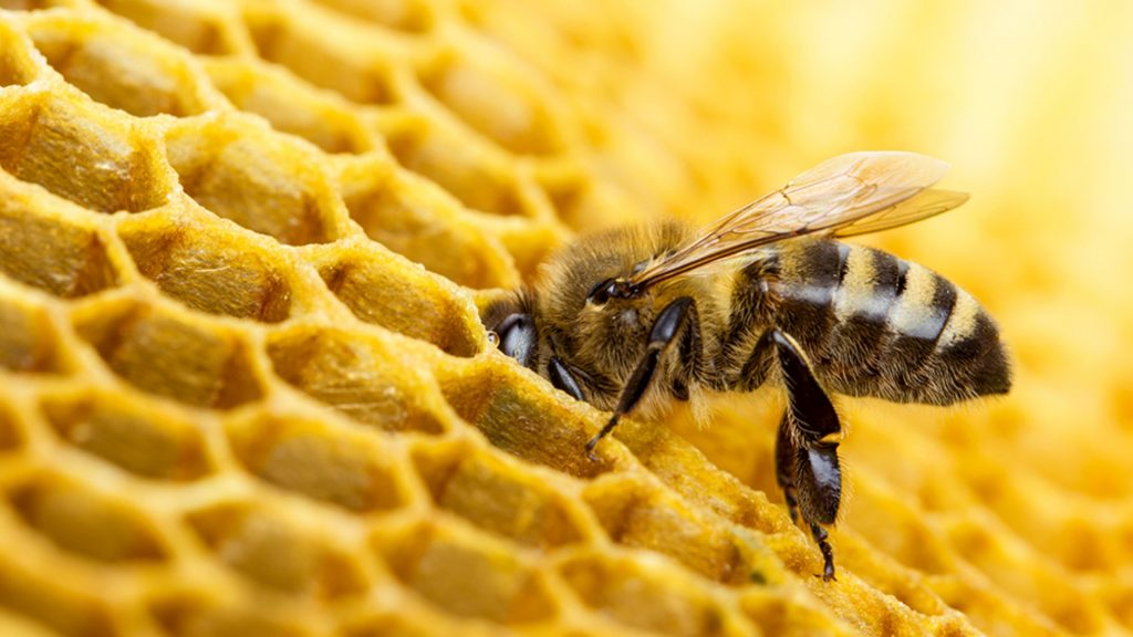 Размеры пчелиных сот
