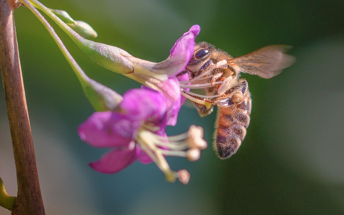 Какая порода пчел лучше: Карника или Карпатка