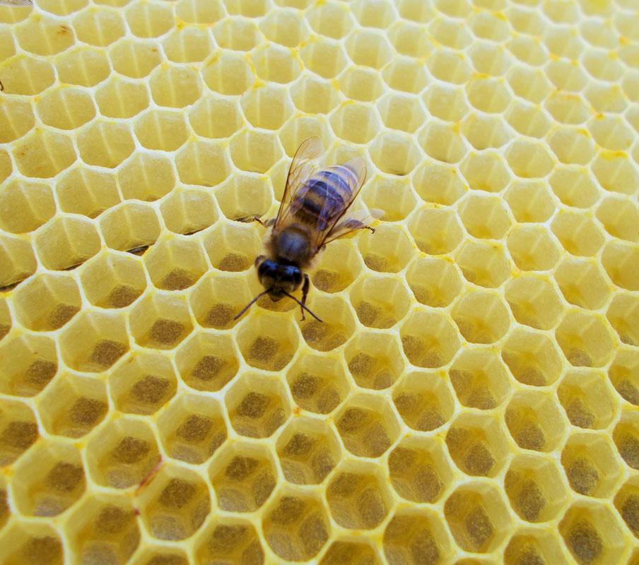 Развитие пчелы от яйца до пчелы: стадии, циклы, время