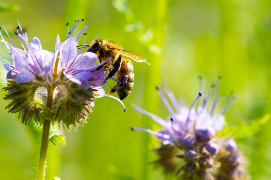 Фацелиевый мед  полезные и лечебные свойства ценность фото