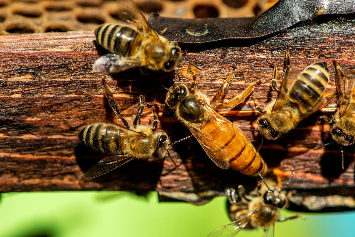 Как пчелы выбирают матку