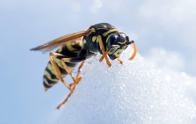 Где и как зимуют осы и шершни Борьба с осами в осенне-зимний период