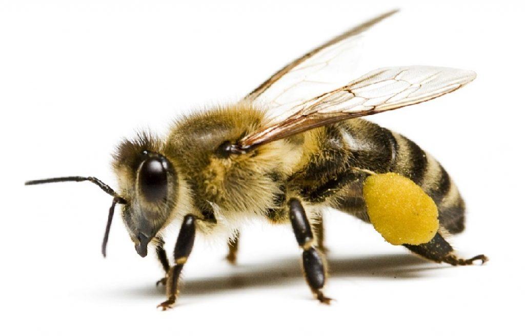 Пыльца пчелиная: полезные свойства и противопоказания. Как принимать пчелиную пыльцу