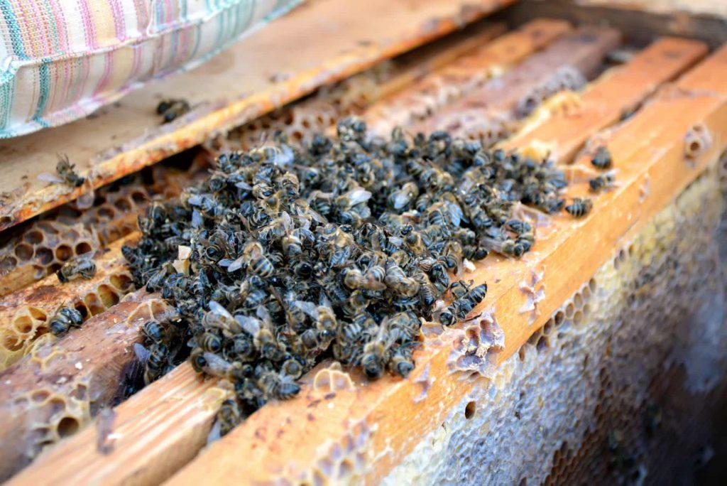 Польза пчелиного подмора для женщин