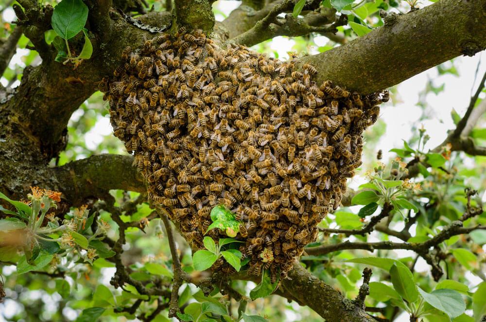 Искусственное роение пчел